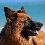 Most Beautiful Dog Breed German Shepherd Dog, Germany