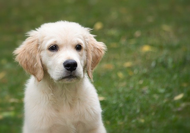 Most Beautiful Dog Breed ,Golden Retriever, England