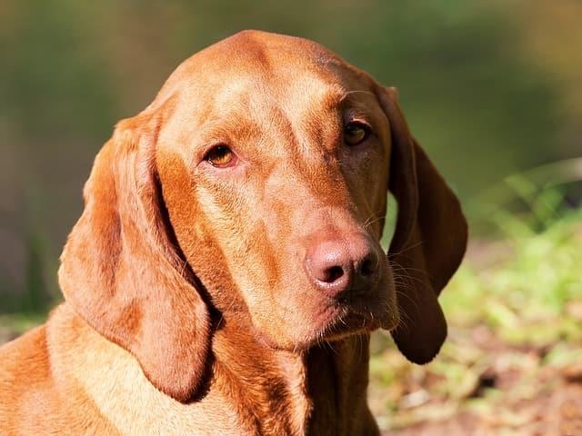 Most Beautiful Dog Breed ,Magyar Vizsla, Hungary