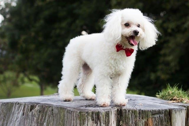 Most Beautiful Dog Breed , Poodle France