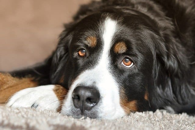 Most Beautiful Dog Breeds Bernese Mountain Dog