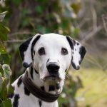 Most Beautiful Dog Breeds Dalmatians, Croatia