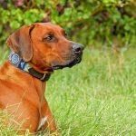 Most Beautiful Dog Breeds Rhodesian Ridgeback, South Africa
