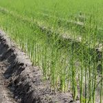 Harvesting Asparagus & Its Species (2)