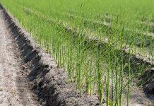 Harvesting Asparagus