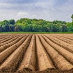 Harvesting Asparagus & Its Species (4)