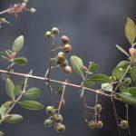 Henna branch (Lawsonia inermis) in Malaysia Henna Plant